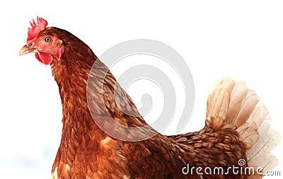 Isolated hen