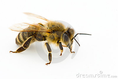 Isolated honeybee