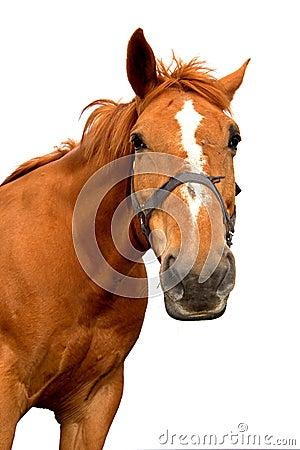 Free Isolated Horse Royalty Free Stock Photo - 14862185
