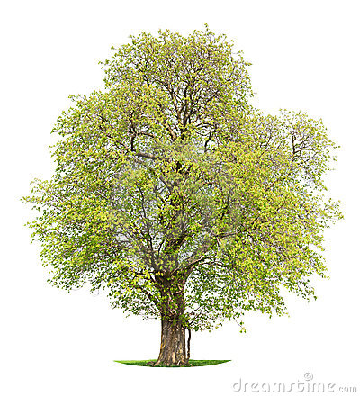 Isolated Horse Chestnut tree