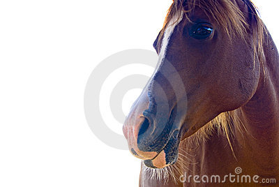 Isolated horse face