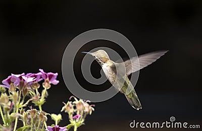 Isolated Hummingbird