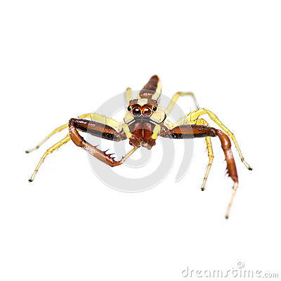 Isolated Jumping Spider
