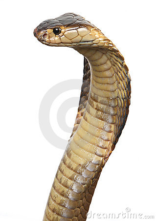 Isolated king cobra