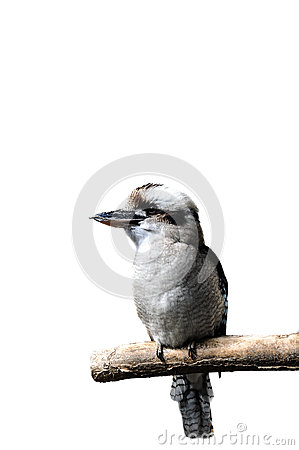 Free Isolated Laughing Kookabura Sitting On A Branch Royalty Free Stock Image - 64977056