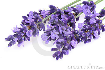 Isolated lavender