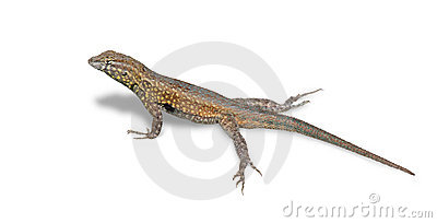Isolated Lizard (Clipping Path)