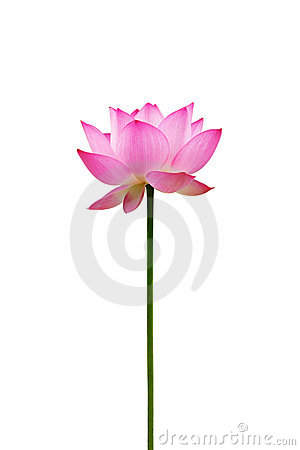 Free Isolated Lotus Flower Stock Photos - 14752313