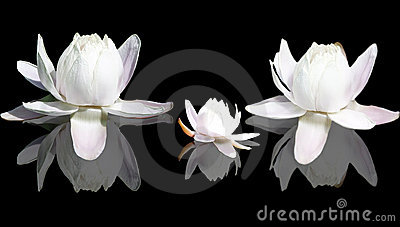 Isolated Lotus flowers