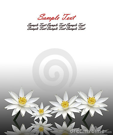Isolated lotus white