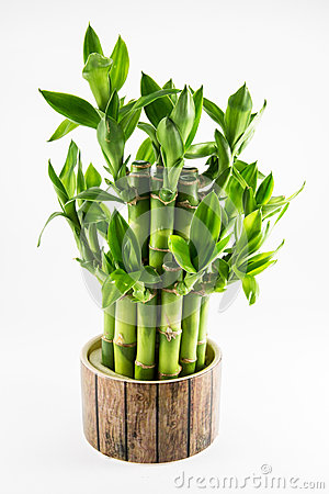 Free Isolated Lucky Bamboo Plant Stock Photos - 45816553