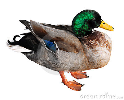 Isolated mallard duck