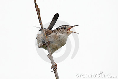 Isolated Marsh Wren On A Stump