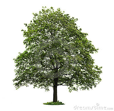 Isolated mature maple tree