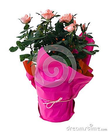 Isolated Mini Rose Plant