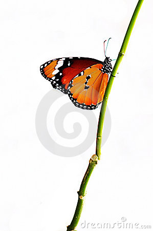Isolated orange butterfly on a branch