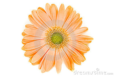 Isolated Orange Gerber Daisy