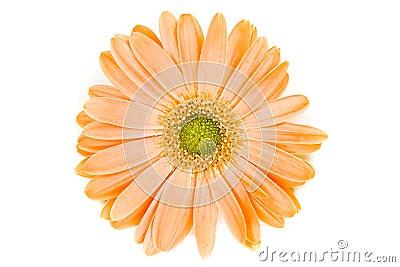 Isolated Orange Gerber Daisy