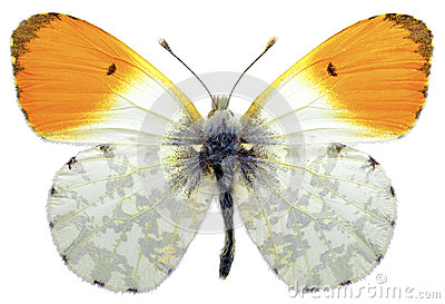 Isolated orange tip butterfly
