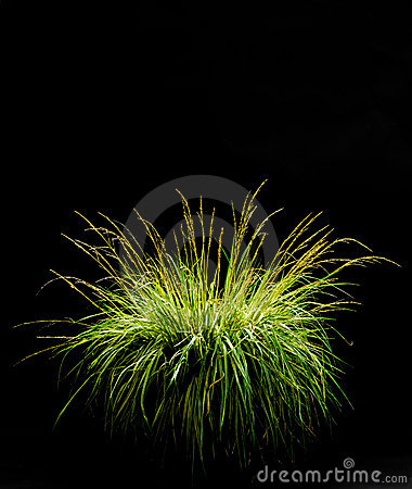 Free Isolated Ornamental Grass On Black Royalty Free Stock Photo - 6222135