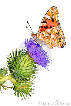 Free Isolated Painted Lady On Thistle Stock Photography - 5805762