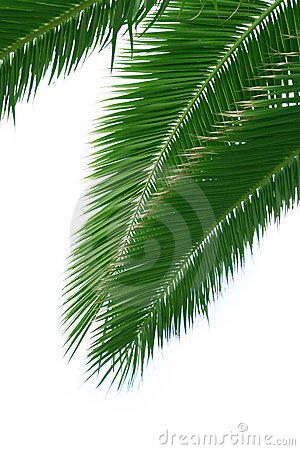Isolated palm branch