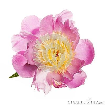 Free Isolated Peony Flower Royalty Free Stock Image - 38093026