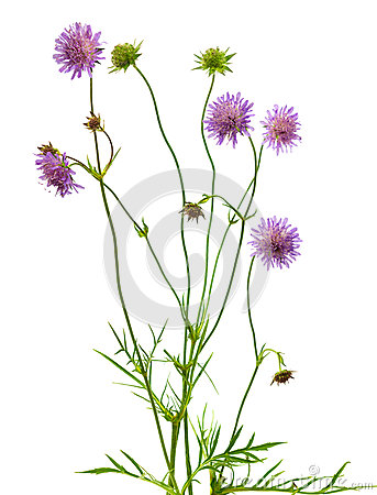 Free Isolated Pincushion Flower Plant Royalty Free Stock Photo - 25477615