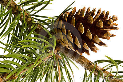 Isolated pine branch with cones