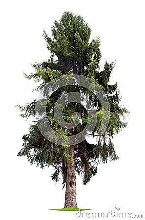 Isolated pine tree