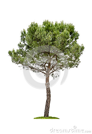 Free Isolated Pine Tree Stock Photo - 31812690