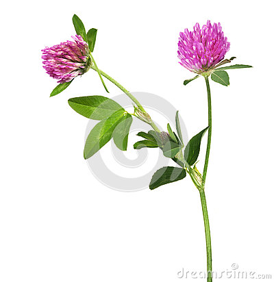 Free Isolated Pink Clover Flower With Two Blooms Royalty Free Stock Image - 51361376