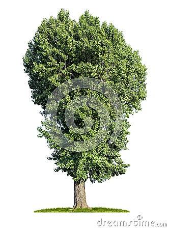 Isolated poplar tree