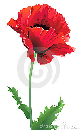 Isolated poppy flower