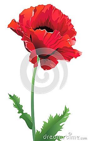 Free Isolated Poppy Flower Stock Image - 12910091