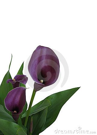 Isolated Purple Calla Lily
