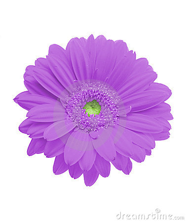 Free Isolated Purple Gerbera Stock Images - 608664