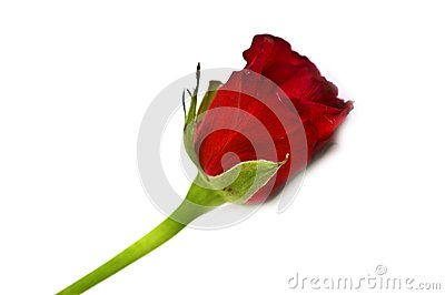 Isolated red rose close-up