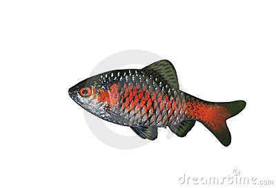 Isolated Red and Silver Barbus Fish