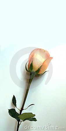 Free Isolated Rose Stock Images - 655534