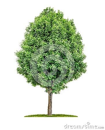 Free Isolated Rowan Tree Stock Photo - 31976020