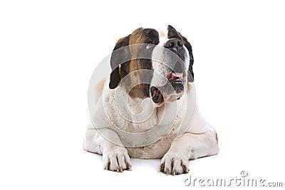 Isolated Saint Bernard dog