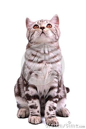 Isolated scottish fold kitten sitting looking up