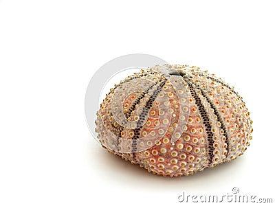 Isolated Sea Urchin