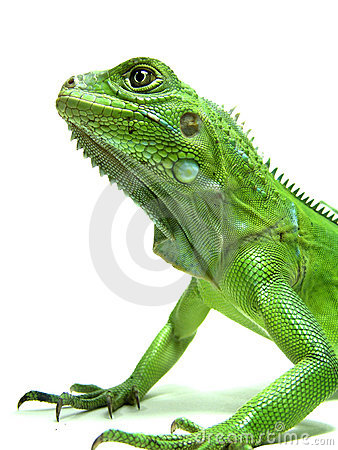 Isolated shot of Green Iguana s head