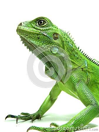 Isolated shot of Green Iguana's head