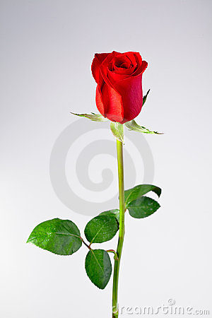 isolated single rose