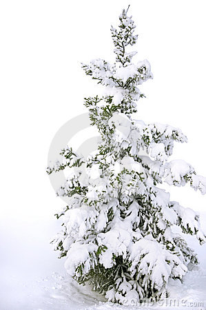 isolated Snow covered pine tree