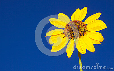 Isolated Sun Flower
