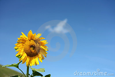 Isolated sunflower in blue sky